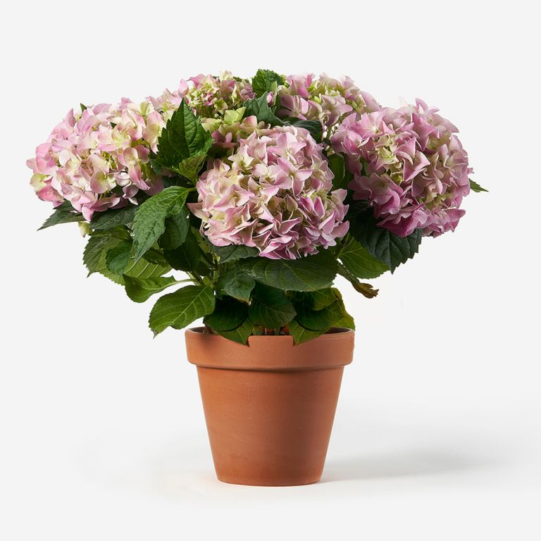 Potted Pink Hydrangea Plant
