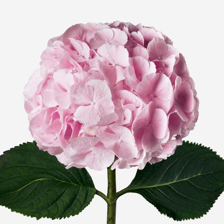 Vase Set Pink Knickers Hydrangea