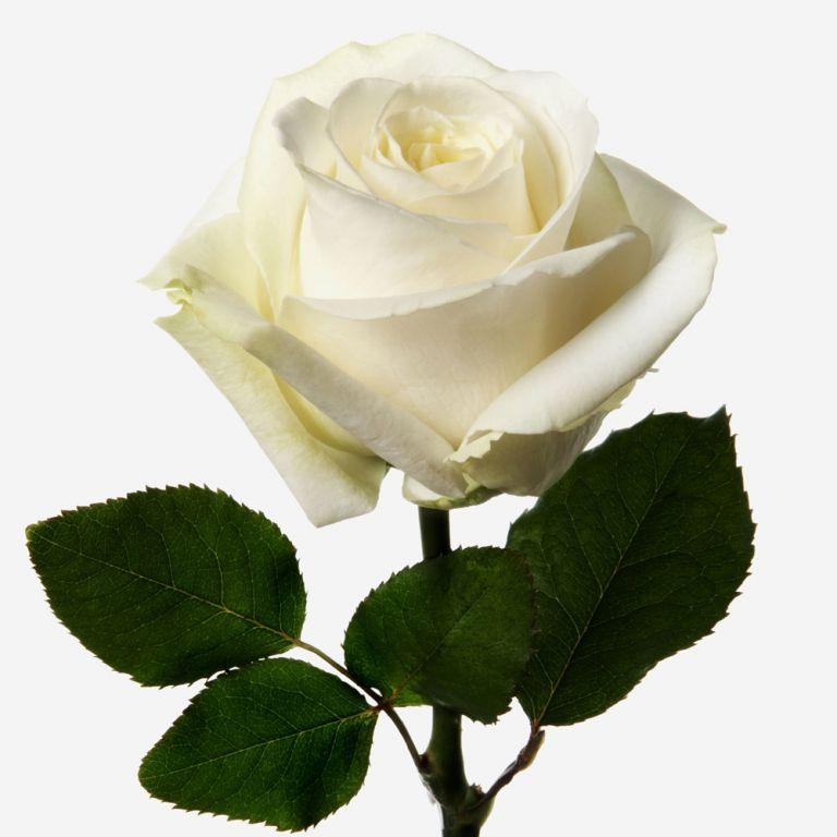 Ivory Avalanche Rose