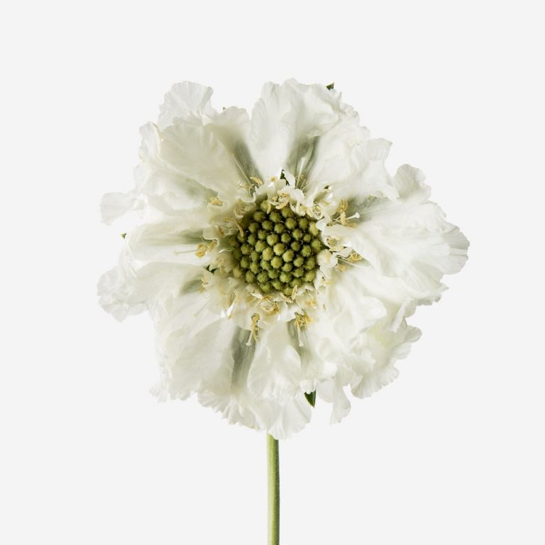 Frilly Knickers Scabiosa