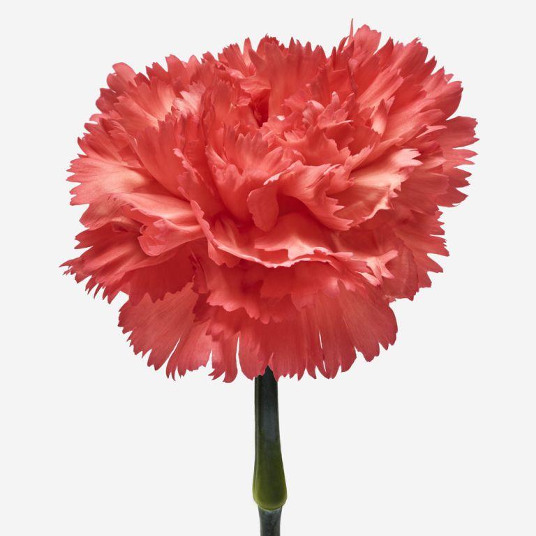Rhubarb Carnation