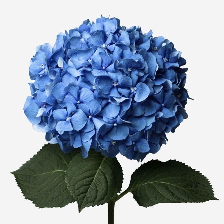 Hortensia Sky Blue
