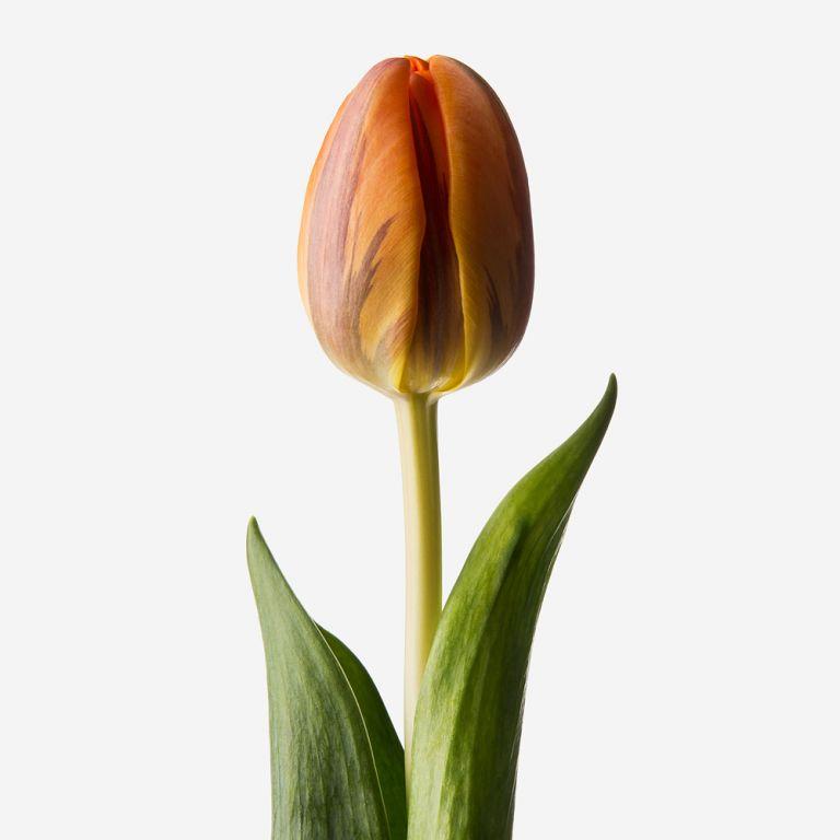 Tulipe double Palomino