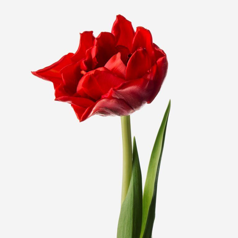 Scarlet Double Tulip