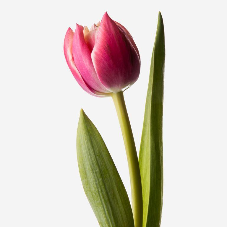 Tulipe double Siren Pink