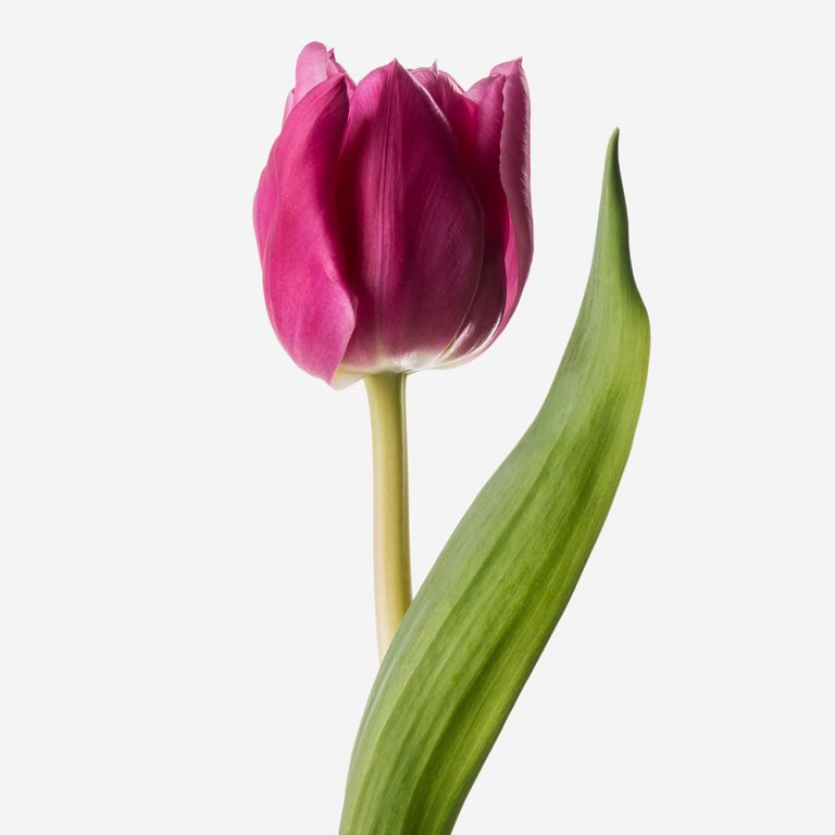 Tart Double Tulip