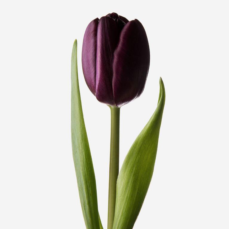 Black Forest Dutch Tulip