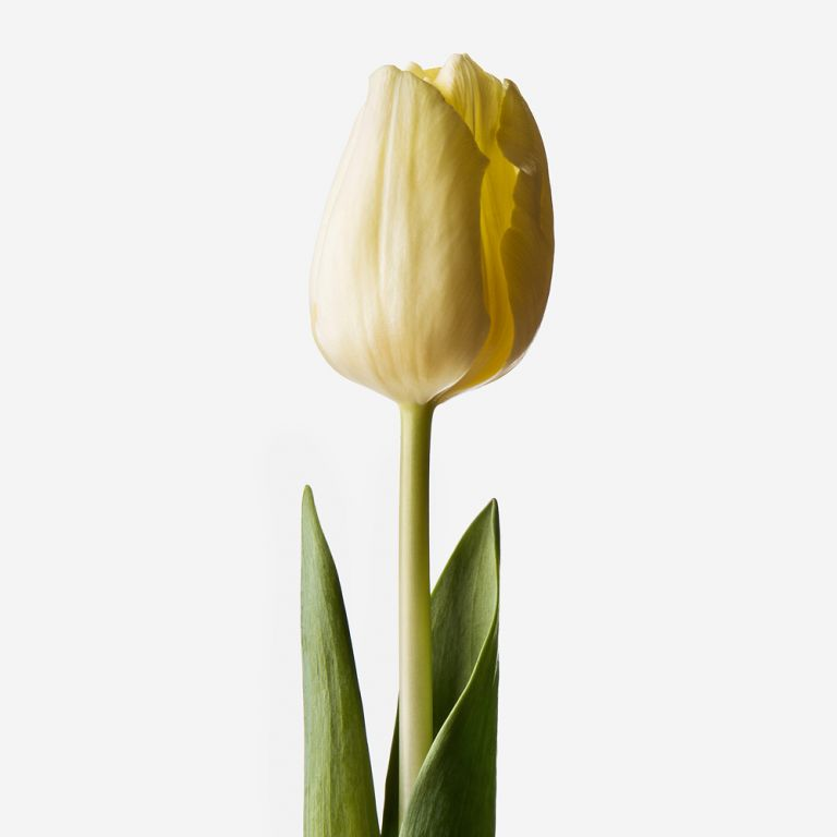 Bleach Blonde Dutch Tulip