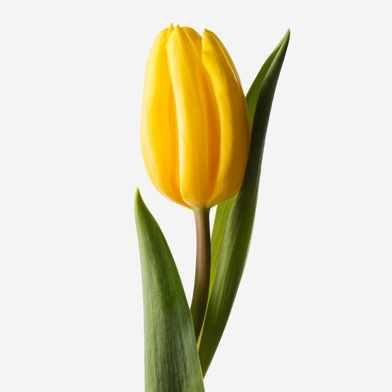 Canary Dutch Tulip