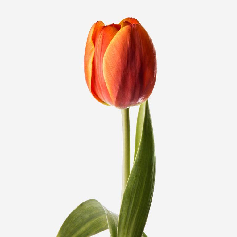 Persimmon Dutch Tulip