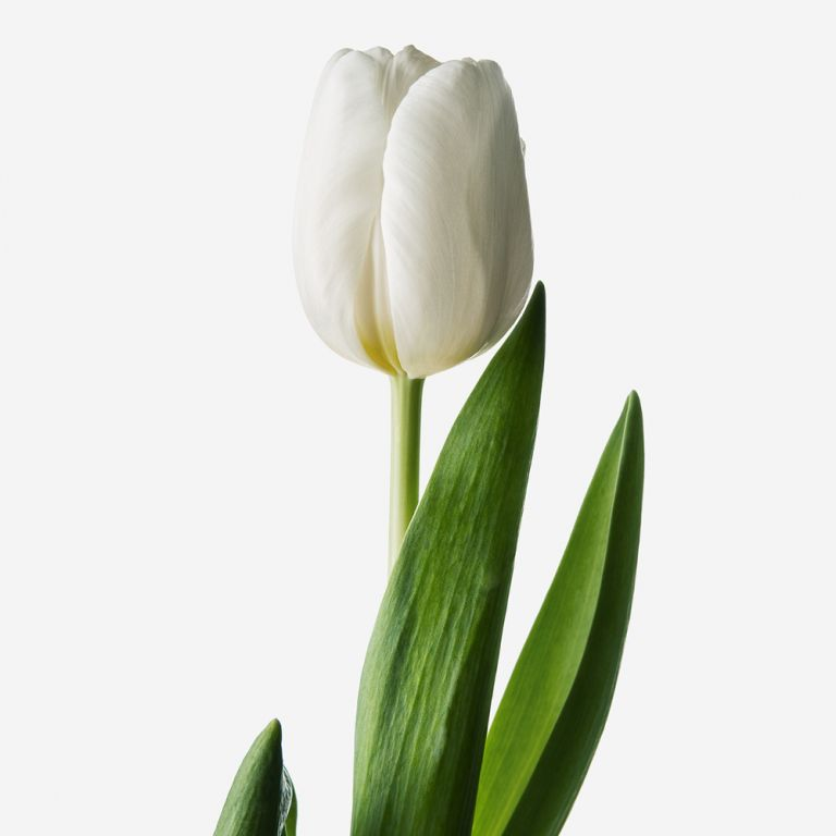 White Hot Dutch Tulip