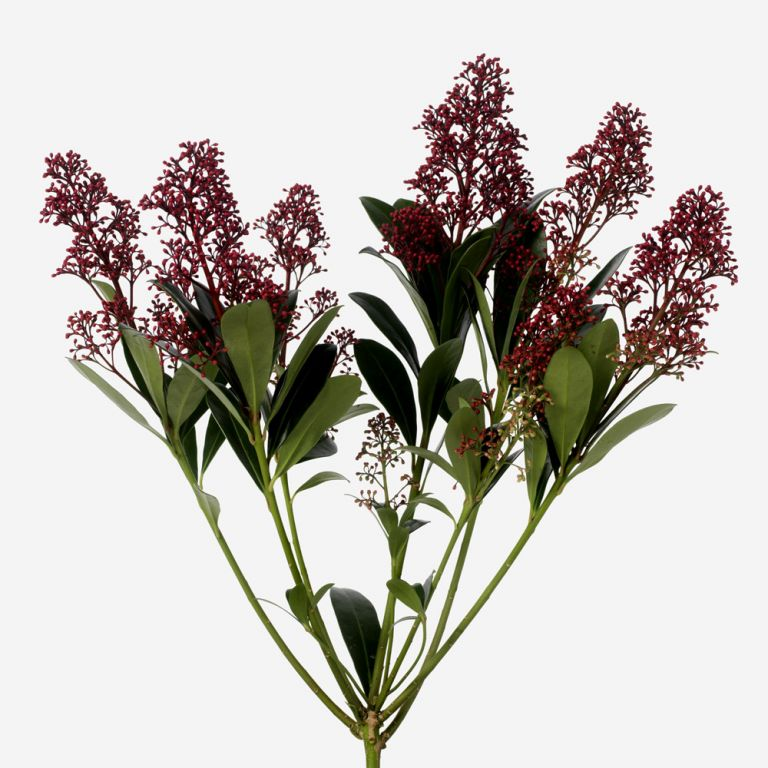 Red Skimmia Foliage