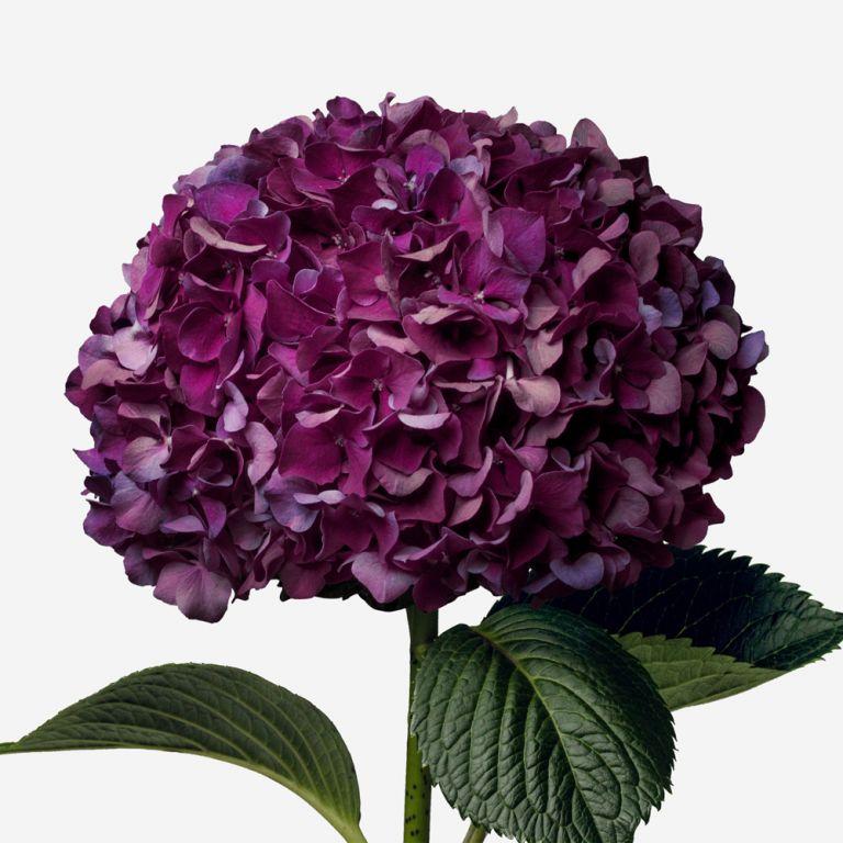Hortensia Velvet Noir