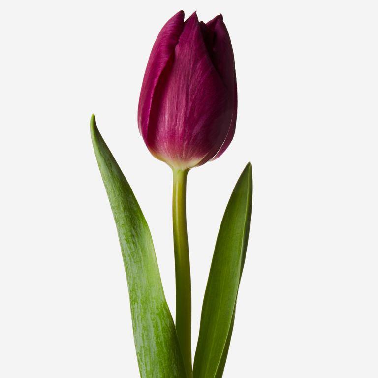 Crown Jewel British Tulip