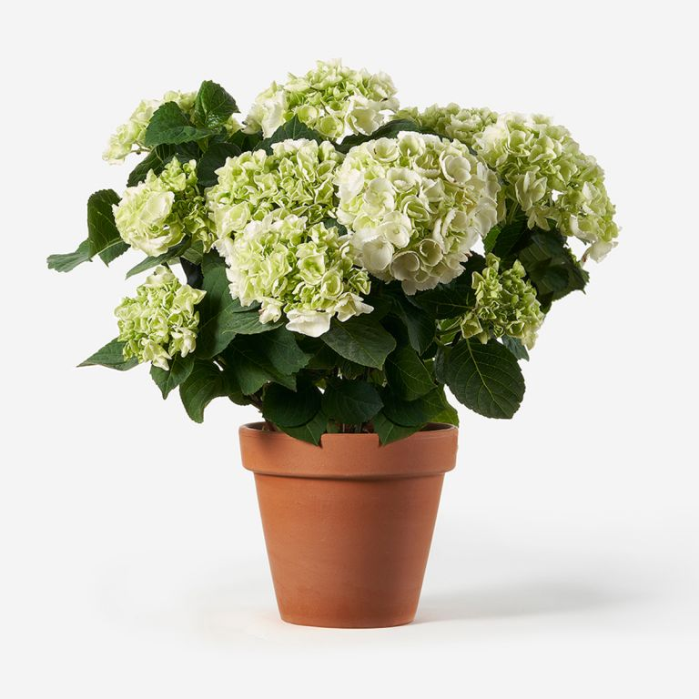 Potted White Hydrangea Plant