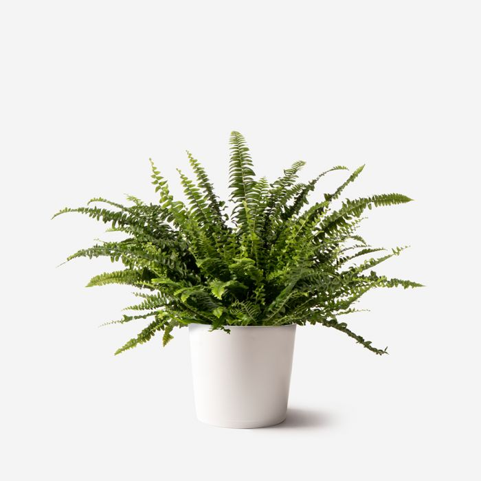 Boston Fern Small Potted Plant Plant Delivery Nyc Flowerbx Us