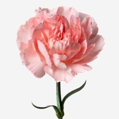 Pink Lemonade Carnation