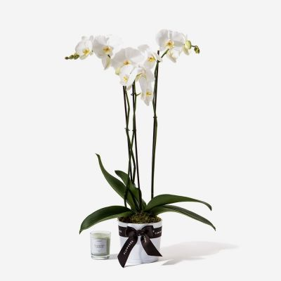 Medium Electric White Orchid in White Pot