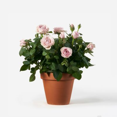 Potted Pink Rose Plant