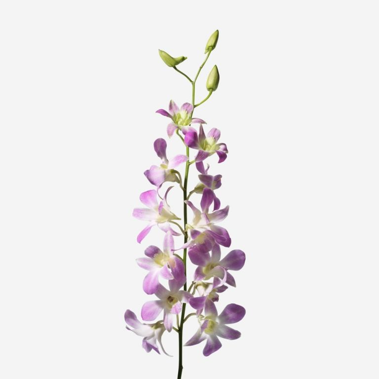 Very Violet Dendrobium Cut Orchid