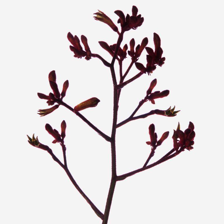 Ruby Red Kangaroo Paw Branches