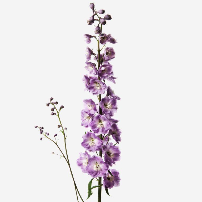 Dusty Lilac Delphinium