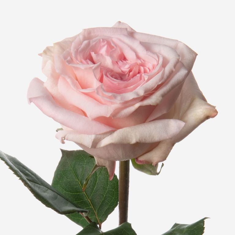 Powder Pink Rose
