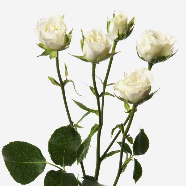 Alabaster Spray Rose