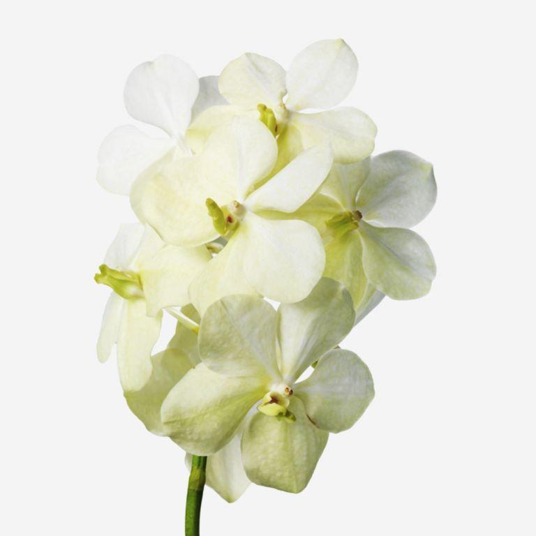 Alabaster Vanda Cut Orchid