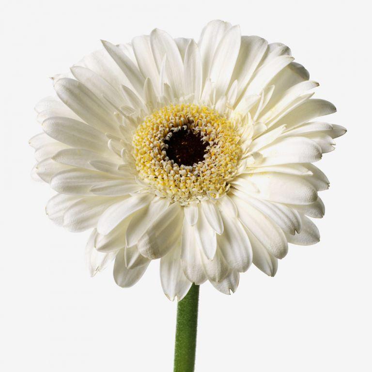 Powder Puff Gerbera Daisy