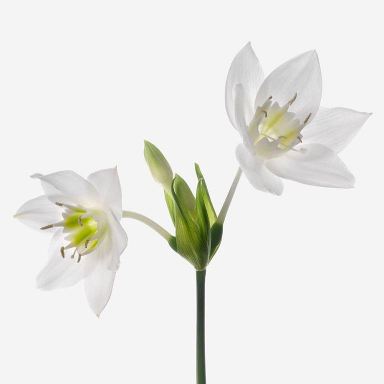 Angel Wing Eucharis Lily