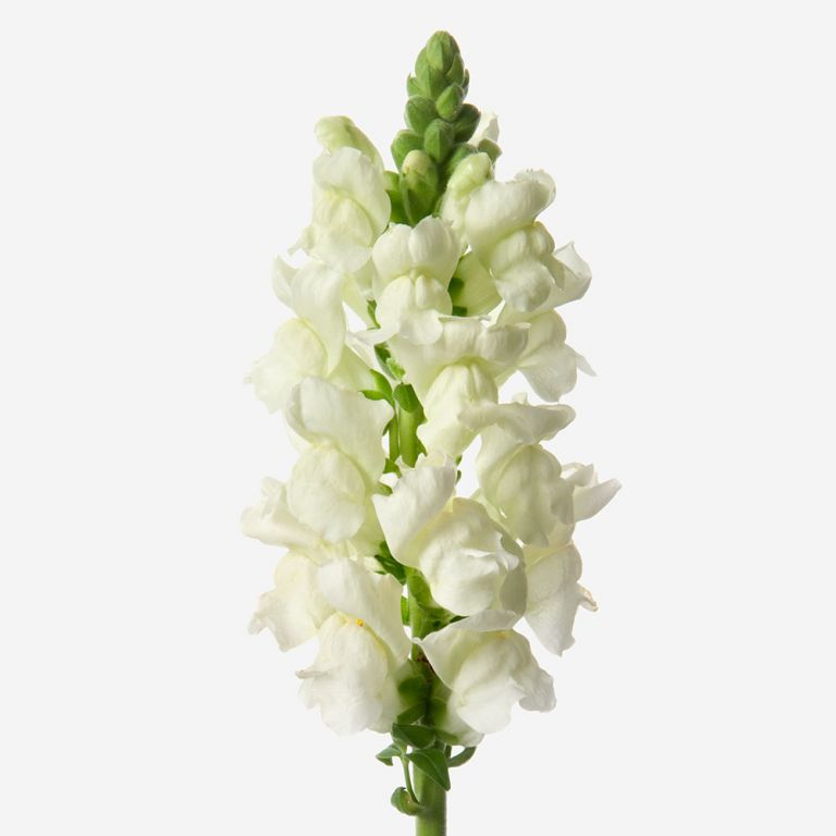 Snazzy White Snapdragon