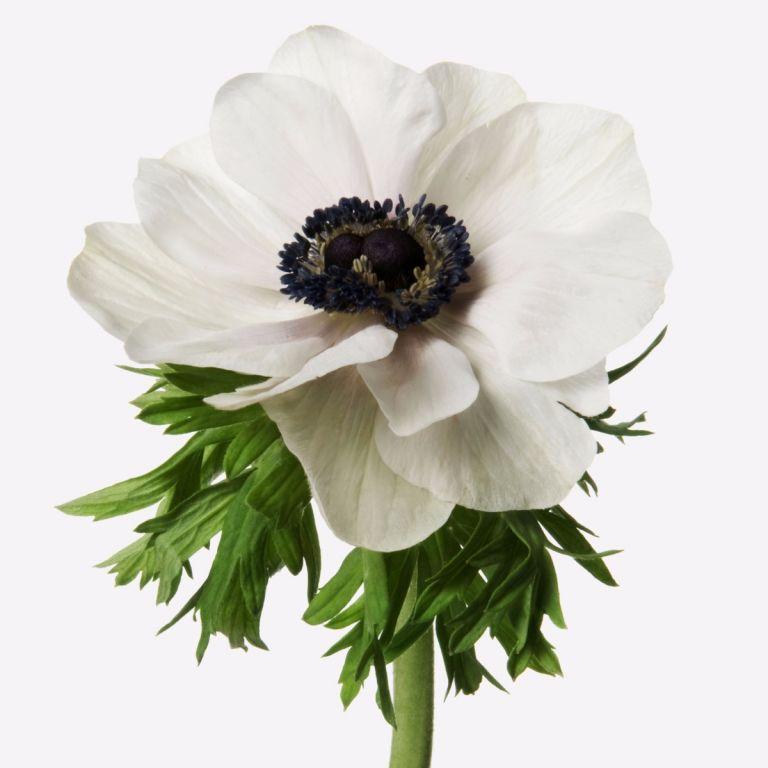 Petal White Anemone Gift   FLOWERBX
