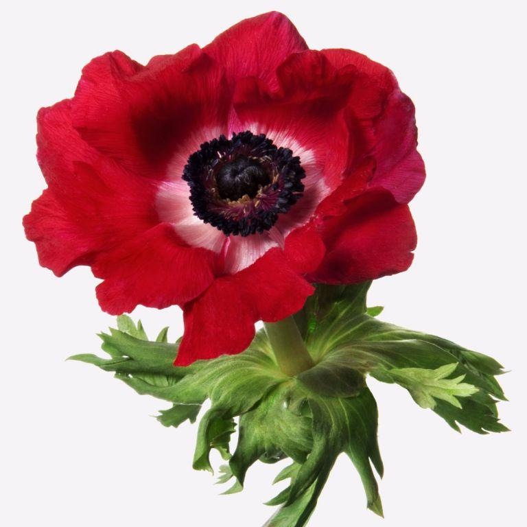 Lipstick Red Anemone Gift | FLOWERBX