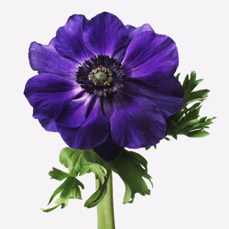 Indigo Anemone Gift   FLOWERBX