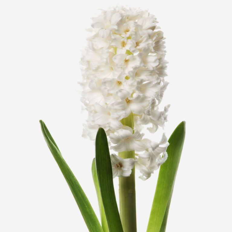Cream Puff White Hyacinth