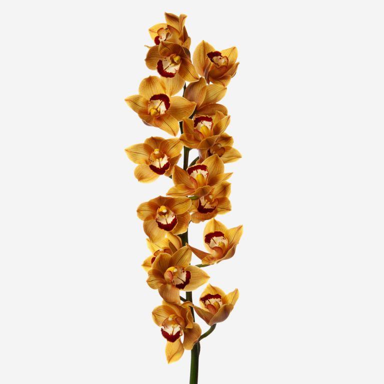 Toffee Cymbidium Cut Orchid