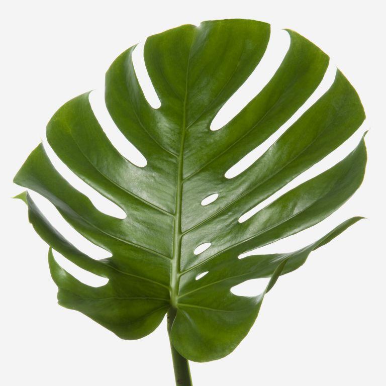 Green Cheeseplant Leaf Foliage