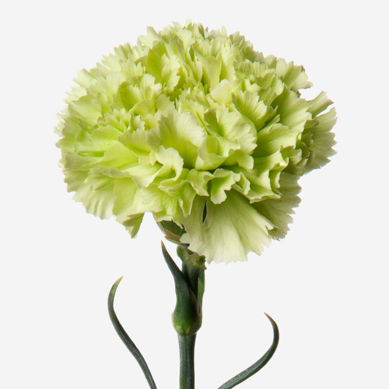 Peppermint Carnation
