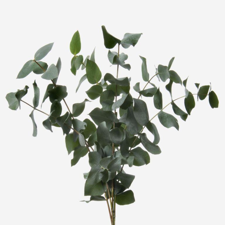 Green Cinerea Eucalyptus Foliage