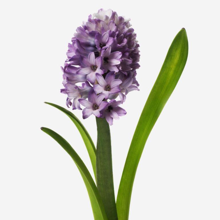 Indigo Anemone Gift | FLOWERBX