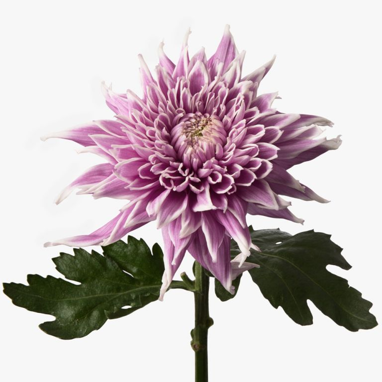 Frosted Mauve Chrysanthemum