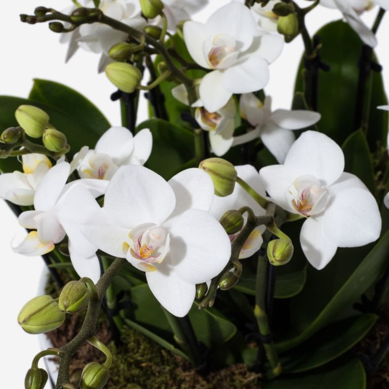Alpine White Mini Orchid Planter