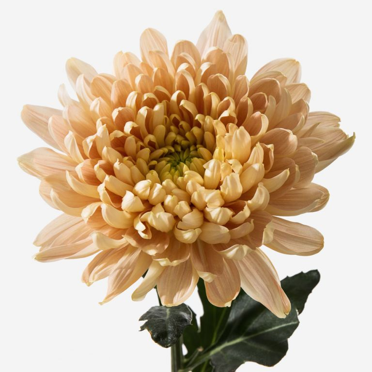 Honey Bunny Chrysanthemum