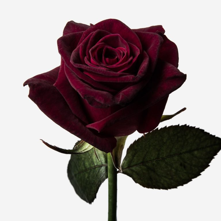 Balthazar Rose