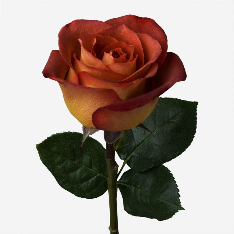 Coffee Rose