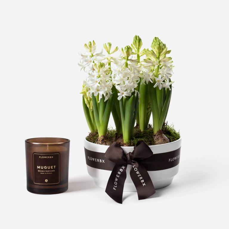 Snow White Hyacinth Spring Bulbs