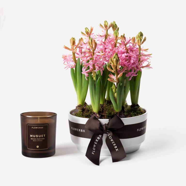 Strawberry Kiss Hyacinth Spring Bulbs