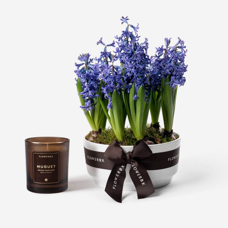Twilight Blue Hyacinth Spring Bulbs