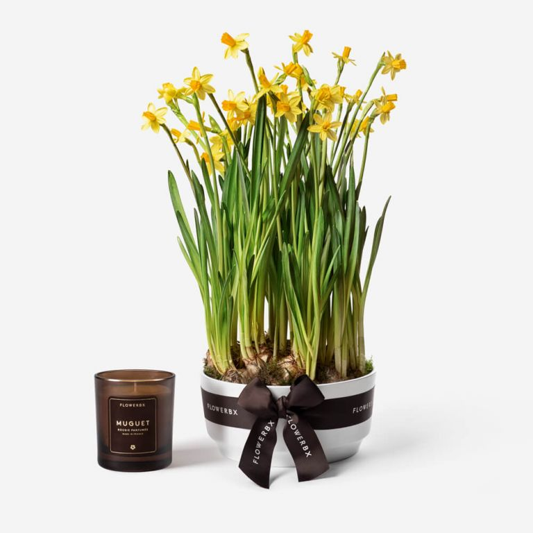 Sunshine Narcissus Spring Bulbs